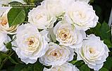 Роза  Bridal Meillandina (Для новобрачных)., фото 2