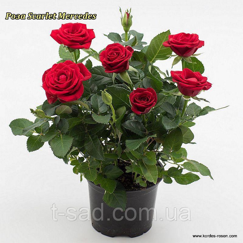 Роза «Скарлет Мерседес».спрей