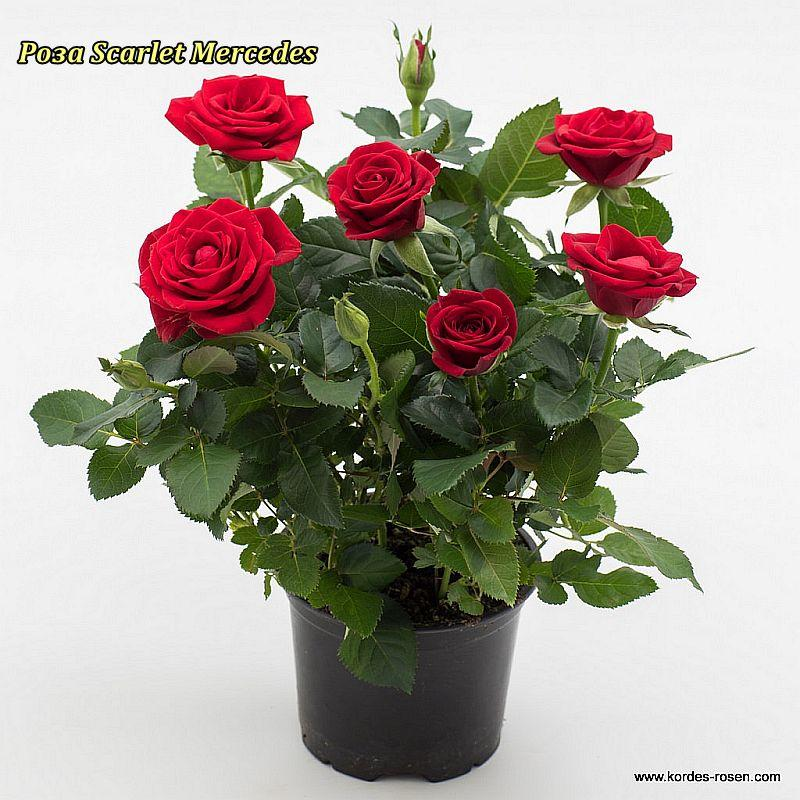 Троянда «Скарлет Мерседес».спрей