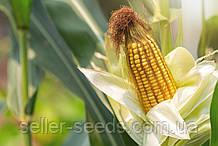 Семена кукурузы ДН Пивиха ФАО 180