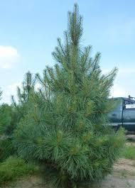 Сосна Пондероза 3 річна, Сосна желтая, Pinus ponderosa