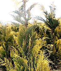 Кипарисовик Лавсона Іvonne 4 річний 60-80см, Кипарисовик Лавсона Івонне, Chamaecyparis lawsoniana Іvonne, фото 3