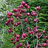 Магнолія Genie 4 річна 0.7-0.8м, Магнолия гибридная Джени, Magnolia Genie, фото 5