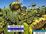 Подсолнечник СВОРД ИР Маисадур под Евролайтинг. Гибрид СВРОД устойчив к заразихе семи расам A-G+ Урожай 49ц/га, фото 7