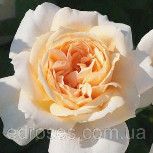 Лайн Роуз ( Lions Rose)