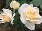Лайн Роуз ( Lions Rose), фото 6