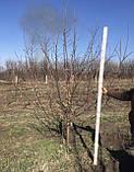 Яблоня - плодовый крупномер, фото 8