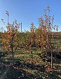 Яблоня - плодовый крупномер, фото 6
