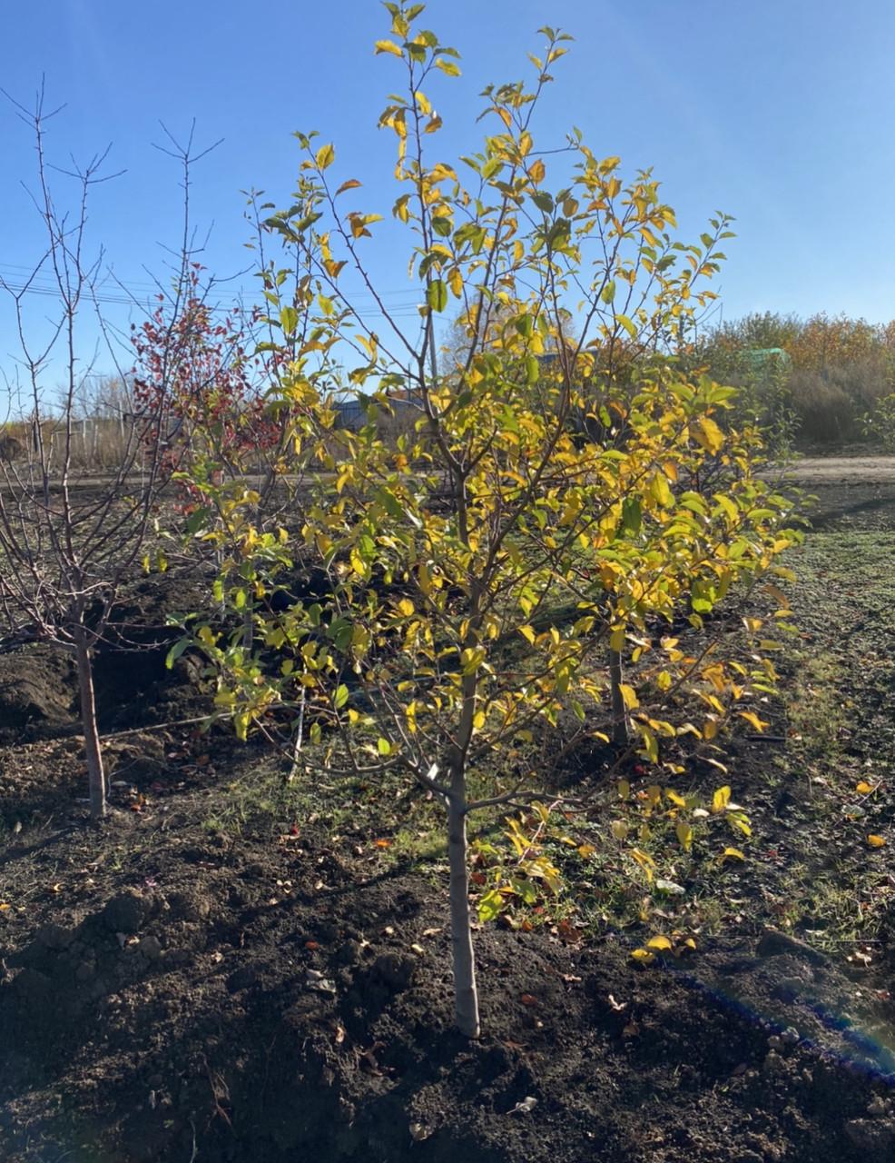 Яблоня - плодовый крупномер