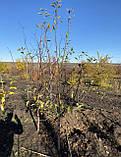 Яблоня - плодовый крупномер, фото 2