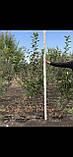Яблоня - плодовый крупномер, фото 10