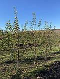 Яблоня - плодовый крупномер, фото 4