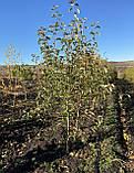 Яблоня - плодовый крупномер, фото 7