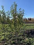 Яблоня - плодовый крупномер, фото 5