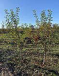 Яблоня - плодовый крупномер, фото 3
