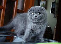 Шотландские вислоухие котята клубные