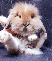 """Карликовый вислоухий кролик,порода """"Вислоухий баранчик Lion lop"""",окрас """"Изабелла плащ."""",возраст 1,5мес.,мальч, фото 2"""