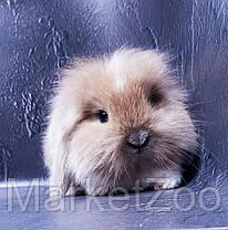"""Карликовый вислоухий кролик,порода """"Вислоухий баранчик Lion lop"""",окрас """"Изабелла плащ."""",возраст 1,5мес.,мальч, фото 3"""