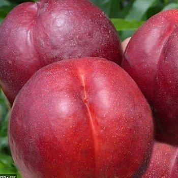 Нектарин Рубиновый 8