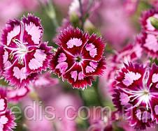 Гвоздика Турецкая 0,5 г, семена Яскрава, фото 2