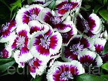 Гвоздика Турецкая 0,5 г, семена Яскрава, фото 3