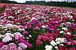 Гвоздика Турецкая 0,5 г, семена Яскрава, фото 4