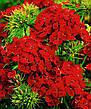 Гвоздика Турецкая 0,5 г, семена Яскрава, фото 5