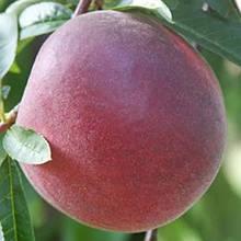 Персик средне-позднего и позднего срока созревания