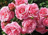 Болгарская Роза - королева цветов