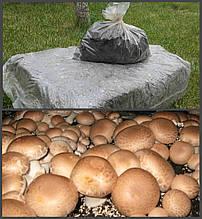 Грибной блок Королевского коричневого шампиньона Королевский 60х40 см.