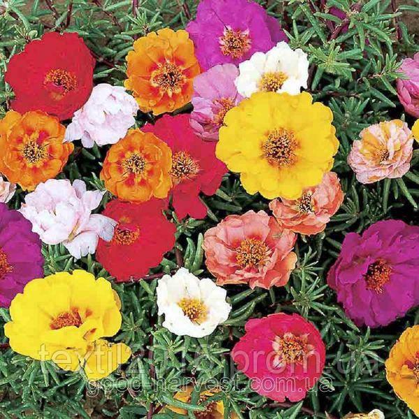Цветы для клумбы портулак махровый семена