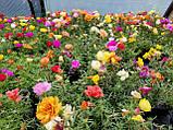 Цветы для клумбы портулак махровый семена, фото 2