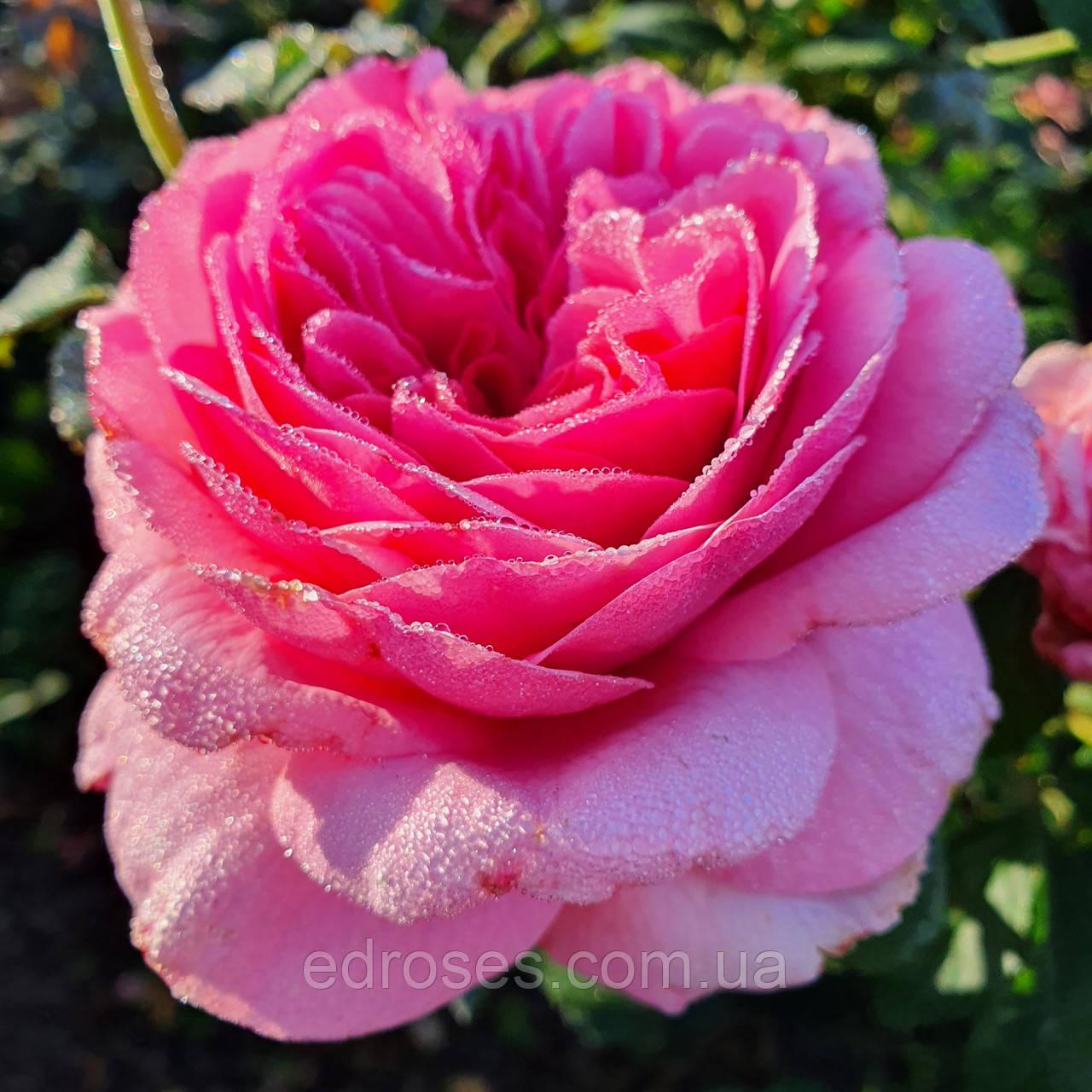Ля Роз де Молинар (  La Rose de Molinard )