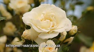 Новый ролик на местном телеканале, посвященный розам с открытой корневой системой