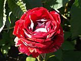 Троянди чайно-гібридна Luxor саджанці, фото 3