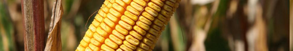 Семена кукурузы яровец