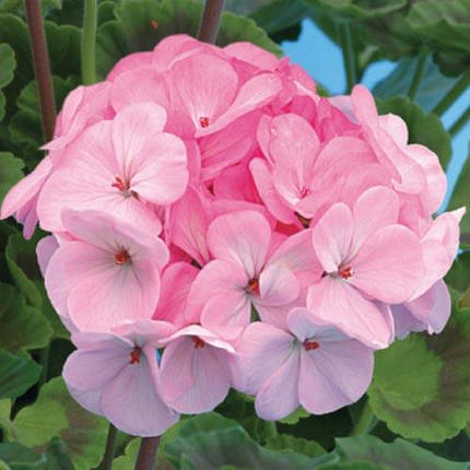 Семена Пеларгония Нежно-розовая Ярка F1 5 шт SeedEra 6147, фото 2