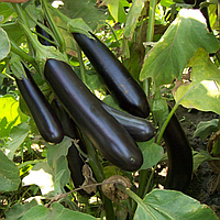 МИЛЕДА F1 - семена баклажана, Syngenta