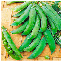 БИНГО - семена гороха овощного, Syngenta, фото 1