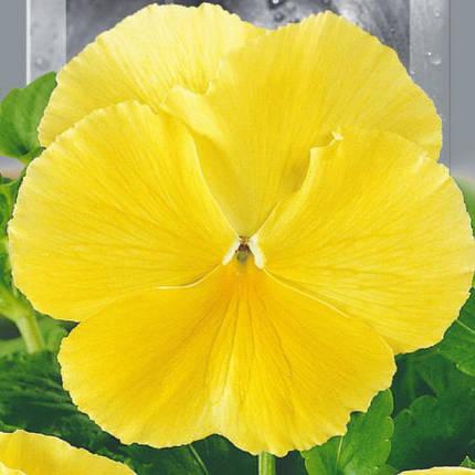 Семена Фиалка садовая Швейцарский гигант желтый двухлетняя 0.1г SeedEra 6191, фото 2