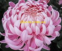 Хризантема  крупноцветковая ЛЯ РОЗ