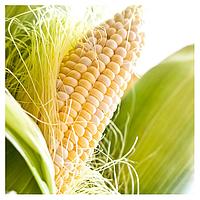 ШАЙНРОК F1 - семена кукурузы супер сладкой 100 000 семян, Syngenta, фото 1
