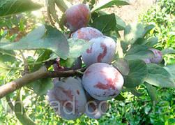 Слива Кабардинка (ранний,скороплодный,крупноплодный)