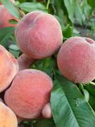 Персик Багатий Травень(новинка,ранній,урожайний,соковитий)