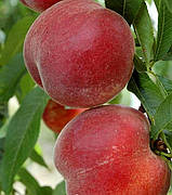Персик Річ Мей (ранній,морозостійкий,великий)