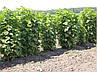 Штамбовая Черная смороина Титания (саженцы), фото 2