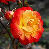 Троянда 'Файєрбьорд' Преміум