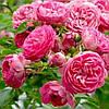 Троянда 'Чаплінз Пінк' Преміум