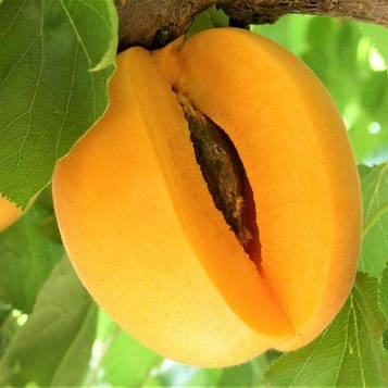 Априум (абрикос-слива) Flavor Delight