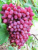 Кишмиш Велес - бессемянный, ранний виноград. Саженец с открытой корневой